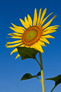 Sunflower with beautiful background. Stock Photos