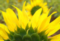 Sunflower beautiful flowers wither and dry in the sun strength Stock Photo
