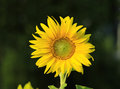 Sunflower beautiful in the garden Royalty Free Stock Photos