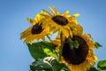 Sunflower beautiful vibrant in the rural scene Stock Image