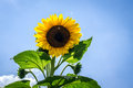 Sunflower beautiful vibrant in the rural scene Royalty Free Stock Image
