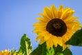 Sunflower beautiful vibrant in the rural scene Stock Photos