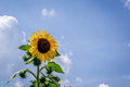 Sunflower beautiful vibrant in the rural scene Royalty Free Stock Photo