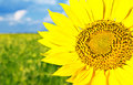 Sunflower beautiful yellow close up Royalty Free Stock Images