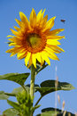 Sunflower and bee on a background of blue sky Royalty Free Stock Photography