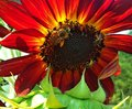 Sunflower Bee Buffet Royalty Free Stock Photo
