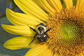 Sunflower and bee close up Royalty Free Stock Photography