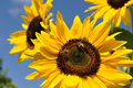 Sunflower and bee closeup of working on blooming in summer day Stock Photos