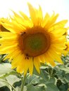Sunflower and bee Royalty Free Stock Photo
