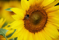Sunflower with the bee in focus on background field Stock Photos