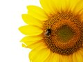 Sunflower with the bee in focus on whute background Stock Image