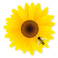 Sunflower and bee isolated on white background Royalty Free Stock Photo