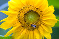 Sunflower and bee on macro shot Stock Photos