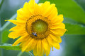 Sunflower and bee on macro shot Royalty Free Stock Image