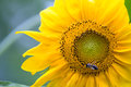 Sunflower and bee on macro shot Royalty Free Stock Images