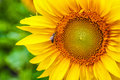 Sunflower with bee yellow a Royalty Free Stock Photo