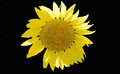Sunflower Black Background Royalty Free Stock Photo