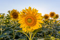 Sunflower bloom on a beautiful blue sky. Royalty Free Stock Photo