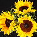 Sunflower in bloom, black background Royalty Free Stock Photo