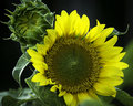 Sunflower bloom and bud open with beside it Stock Photo