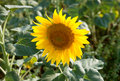 Sunflower the bloom plant on field Stock Photography