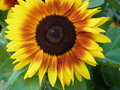 Sunflower blooming bright with green leaves Royalty Free Stock Photography