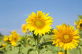 Sunflower blooming over blue sky and bright sunlight Stock Photography