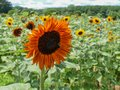 Sunflower Blooms Helianthus Annuus Royalty Free Stock Photo