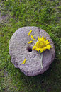 Sunflower blossom on ancient millstone Royalty Free Stock Image