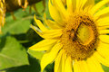 Sunflower blossoming and bee in the gardens Royalty Free Stock Images