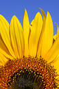 Sunflower and Blue Sky Stock Photography