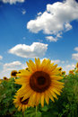 Sunflower and blue sky Royalty Free Stock Image