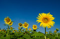 Sunflower with blue sky blooming in sunshine day Stock Photography