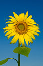 Sunflower with blue sky blooming in sunshine day Stock Images