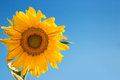 Sunflower on blue sky copy space for text Royalty Free Stock Photos