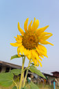Sunflower and blue sky in hometown Stock Photo