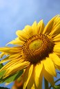 Sunflower on blue sky single Stock Photos