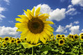Sunflower on blue sky in summer with white clouds Royalty Free Stock Photography