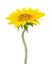 Sunflower a branch of flower isolated on white Royalty Free Stock Images