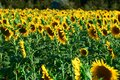 Sunflower - bright field with yellow flowers, beautiful summer landscape in sunset Royalty Free Stock Photo