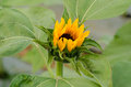 Sunflower bud closeup of beautiful Stock Photos