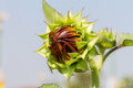 Sunflower bud in the farm Stock Photography