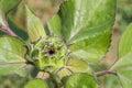 Sunflower bud in the farm Royalty Free Stock Photos