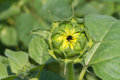 Sunflower bud on green leaves background Stock Photos