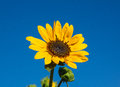 Sunflower with bud a single faces the morning sun an unopened by its side Stock Image