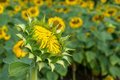 Sunflower bud in a sunflower field Royalty Free Stock Photo