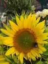 Sunflower with a bumblebee on it Royalty Free Stock Photo