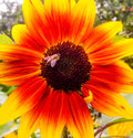 Sunflower and Bumblebee Royalty Free Stock Photo