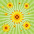 Sunflower Burst Stock Photo