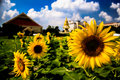 Sunflower by canon d d Royalty Free Stock Images